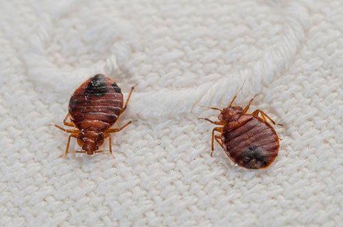 Учимся отличать укус клопа от укусов других насекомых, а также от аллергии и обычных прыщиков