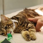 Удаление грыж у кошек и котов