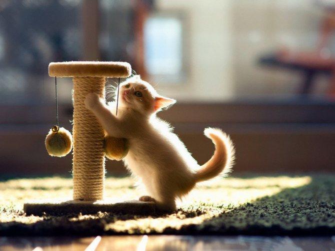 Удобнее всего приучать котят к когтеточкам с самого детства