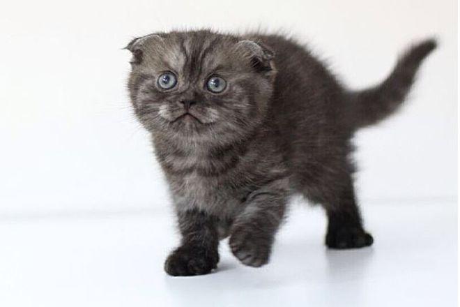 Угольный шотландский котенок
