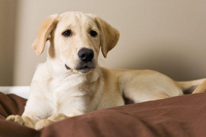 Уход за собаками больными пироплазмозом
