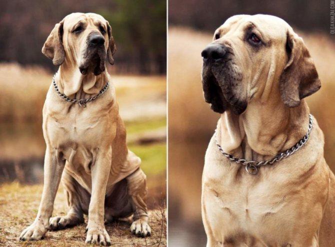 уход за собакой Фила бразилейро