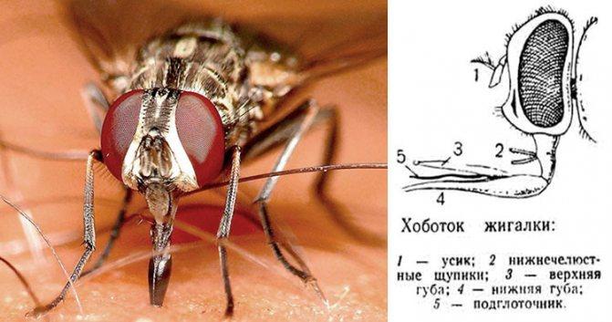 Укус мухи жигалки на человеке, строение хоботка мухи