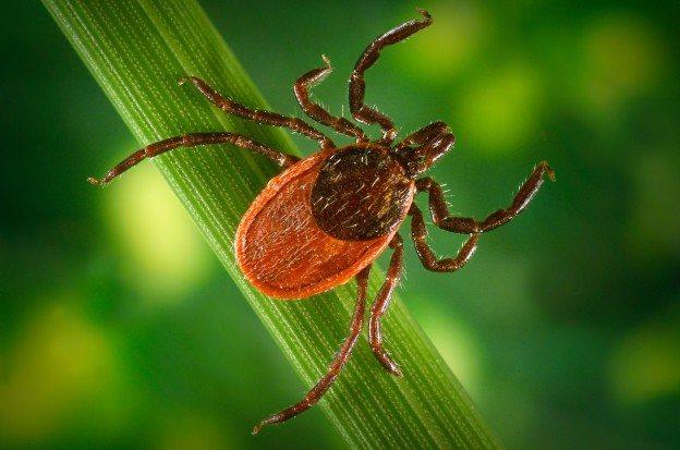 Укус паразита-переносчика - одна из причин болезни Лайма