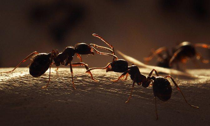 Укусы муравьев