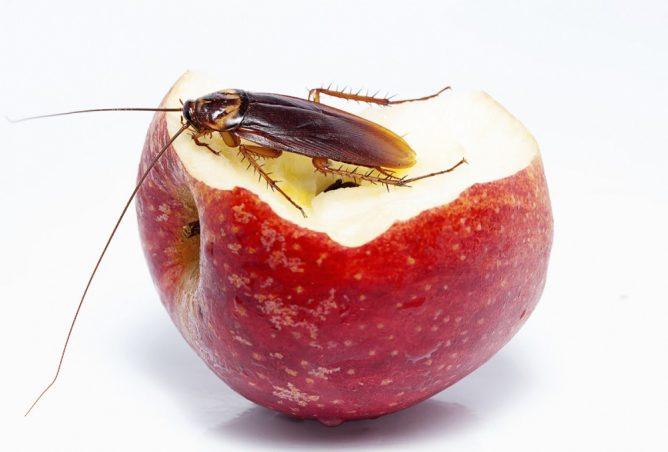 Условия размножения тараканов, стадии их развития и соответствующие меры борьбы