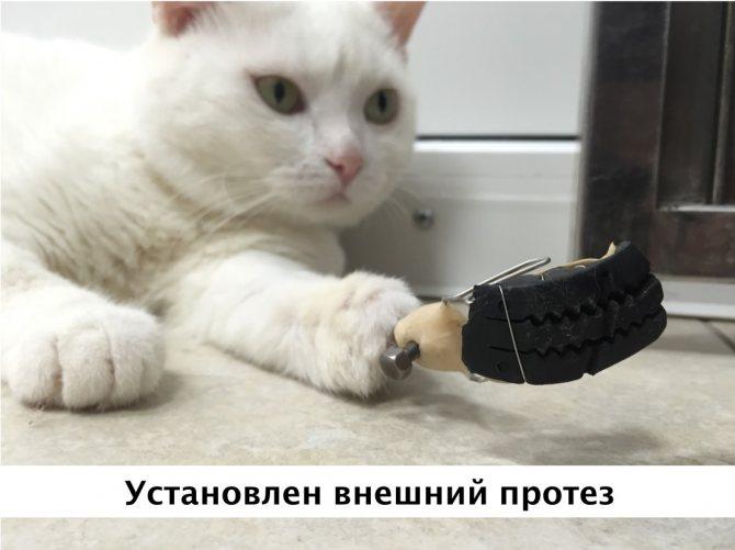 Установка внешнего протеза коту