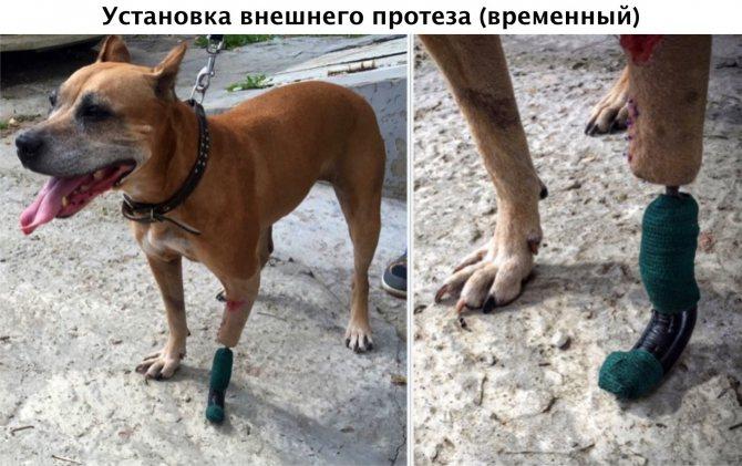 Установка временного внешнего протеза собаке