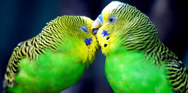 Уже через день после затравки блох, попугаи будут чувствовать себя намного лучше