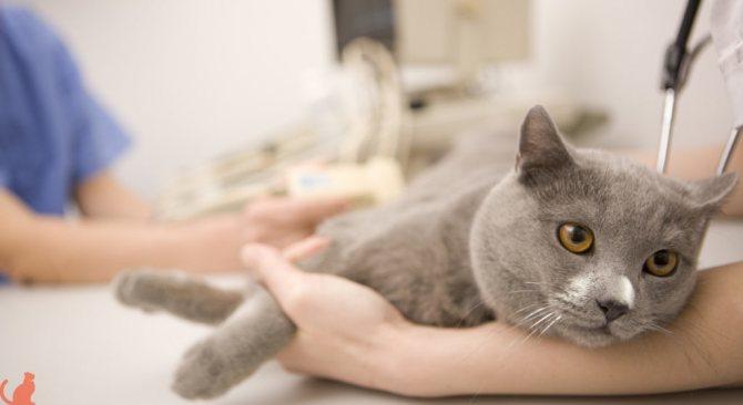 Узи кошке