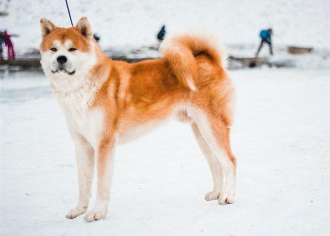 В целом, Японская хаски достаточно здоровая собака