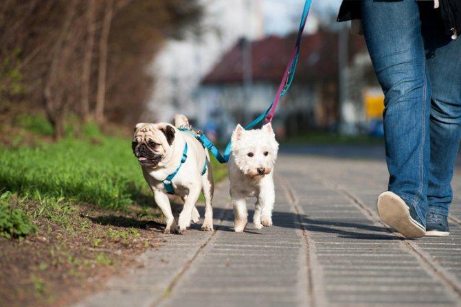 В ежедневных прогулках нуждается любая собака