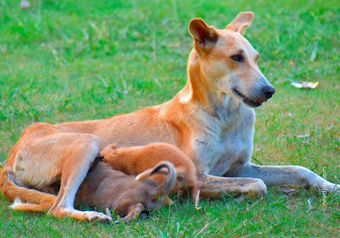 В группу риска входят собаки в период второй и третьей недели после появления щенков