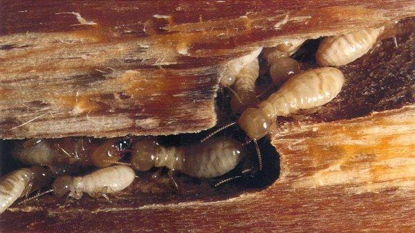 в какой природной зоне живут термиты