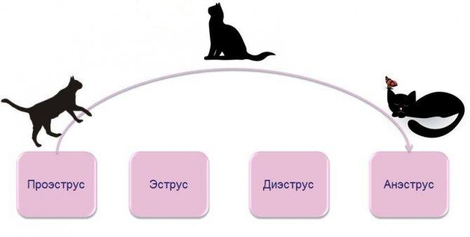 В каком возрасте кошка начинает просить кота и начинает гулять?
