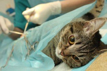 В каком возрасте стерилизуют кошек: советы врачей и уход после операции