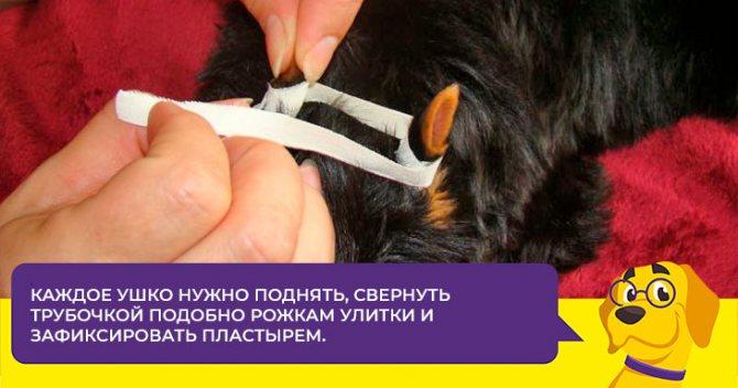 В каком возрасте у щенков йорка встают ушки и как им помочь