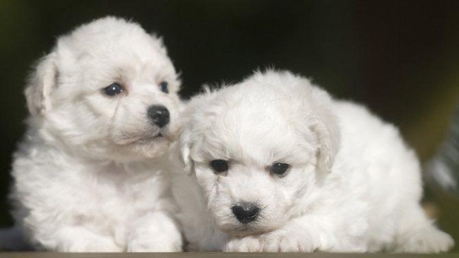 В переводе с французского Бишон Фризе означает кучерявая собака