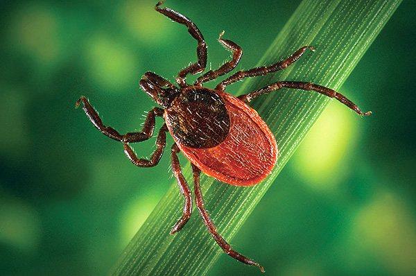 В период максимальной активности клещей важно проявлять особую бдительность и предпринимать профилактические меры от укусов паразита.