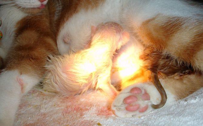 В последний период у кошки могут родиться недоношенные котята