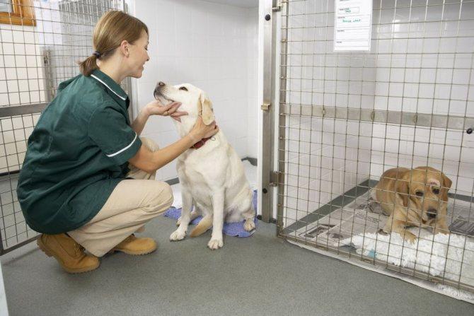 Вагинит у собак: симптомы, лечение и уход за больным животным
