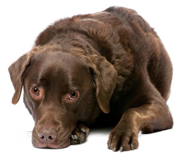 вагинит у собак симптомы