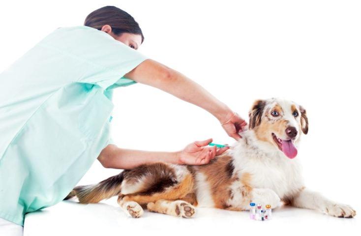 вакцинация собаки от чумки