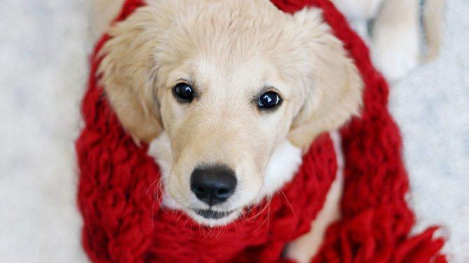 Вакдерм для собак инструкция, применение, отзывы