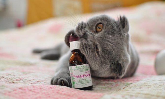 Валериана в чистом виде не рекомендуется при лечении стресса у кошек
