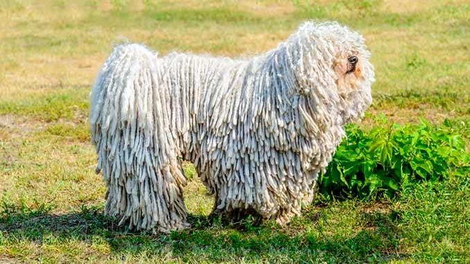 Венгерская овчарка белого окраса фото