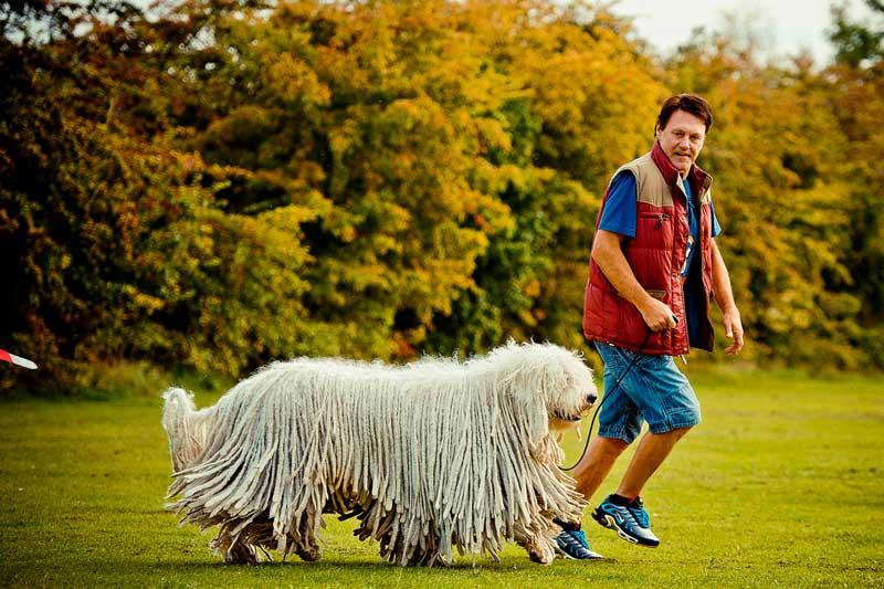 Венгерская овчарка: фото