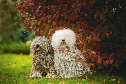 Венгерские водяные собаки пули