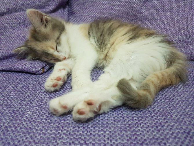 вероятность заражения коронавирусом кошек