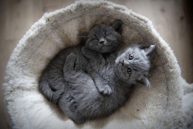 Вес котенка по месяцам - таблица по породам