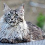 вес взрослого кота и кошки мейн кун