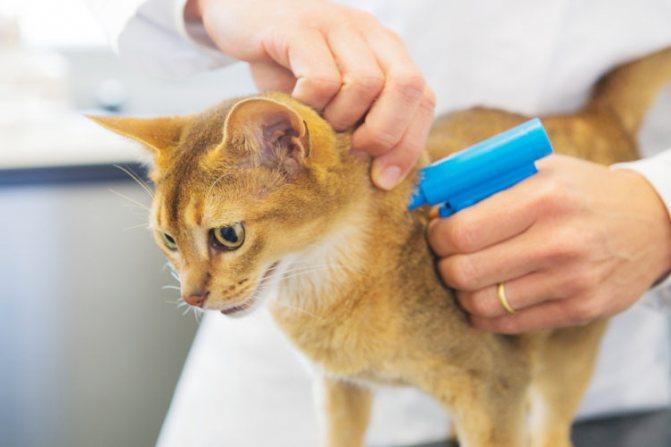 ветеринар чипирует кошку
