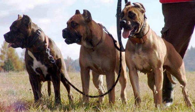 вид собак породы алано