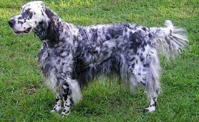 вид собаки породы английский сеттер
