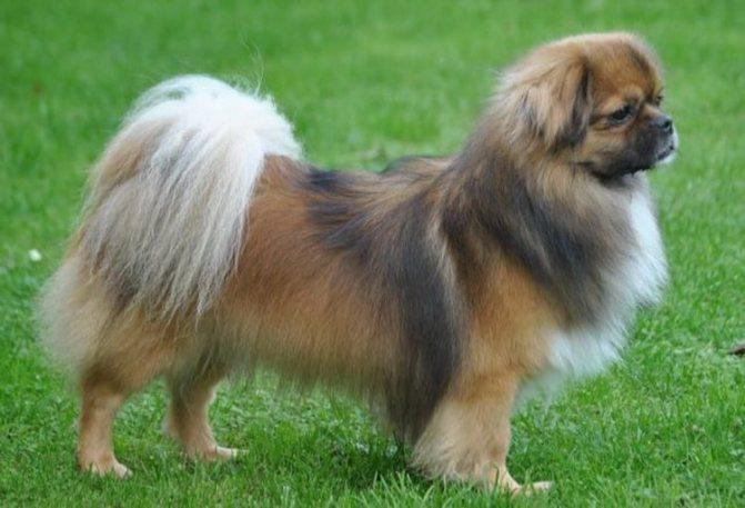 вид собаки породы тибетский спаниель