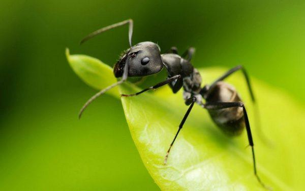 видеть во сне муравья по соннику