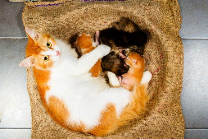 Видеть во сне рождение котят