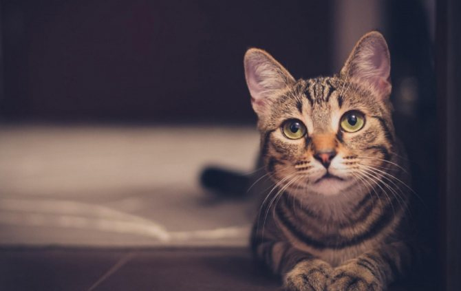 виды коронавируса у кошек