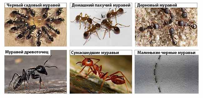 Виды муравьев: фото