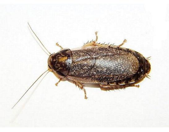 Виды тараканов – от известного рыжего прусака до настоящей квартирной экзотики