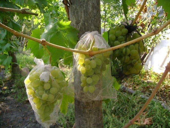 Виноград под защитными сетками от ос