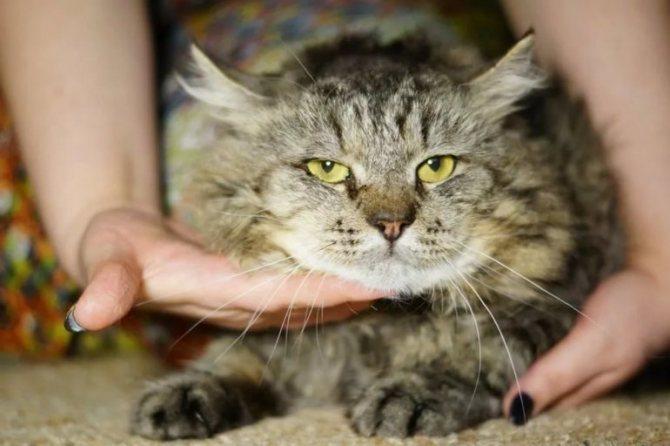 Вирусные инфекции кошек: лейкоз