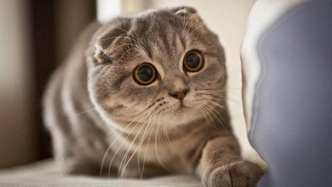 Вислоухая кошка и кот можно ли сводить их