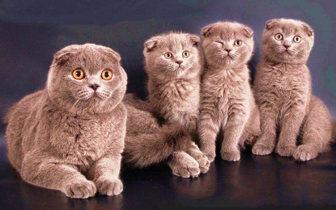 Вислоухая кошка с котятами