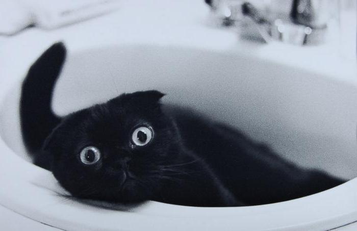 вислоухий черный кот фото