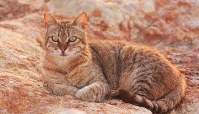Внешний вид австралийского миста или дымчатой кошки